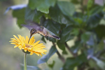 Photograph - Hummingbird On A Yellow Daisy by Robert Camp
