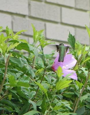 Hummingbird On Althea Art Print