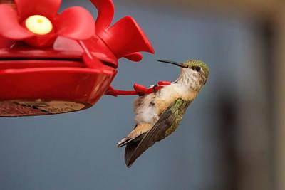 Hummingbird On Feeder Art Print by Alan Hutchins