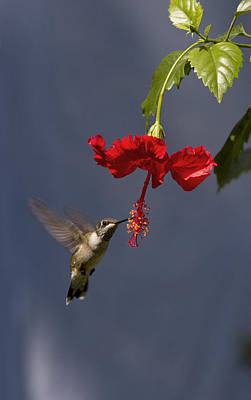 Hummingbird On Hibiscus Art Print
