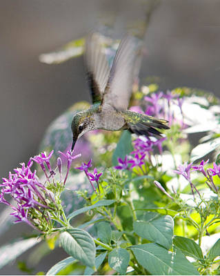 Photograph - Hummingbird On Penta by Robert Camp