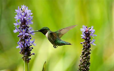 Photograph - Hummingbird On Pickerelweed by Greg Vizzi