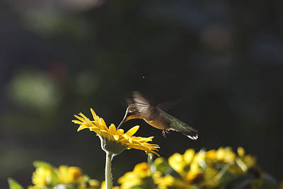 Photograph - Hummingbird On Yellow Daisy by Robert Camp