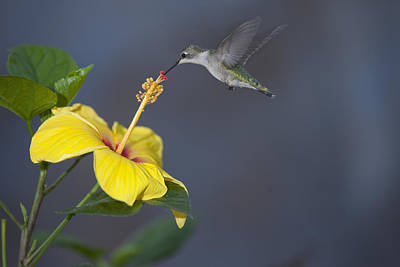 Photograph - Hummingbird On Yellow Hibiscus by Robert Camp