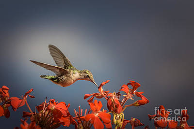 Hummingbird Or My Summer Visitor Art Print by Jola Martysz