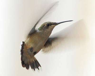 Photograph - Hummingbird Pastel 1 by Coby Cooper