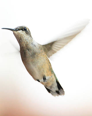 Photograph - Hummingbird Pastel 2 by Coby Cooper