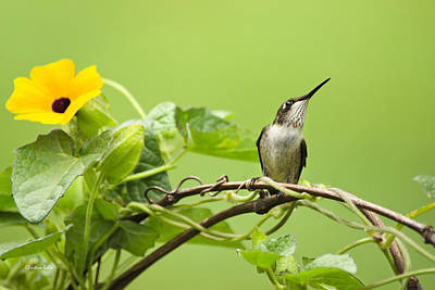 Photograph - Hummingbird Pause by Christina Rollo