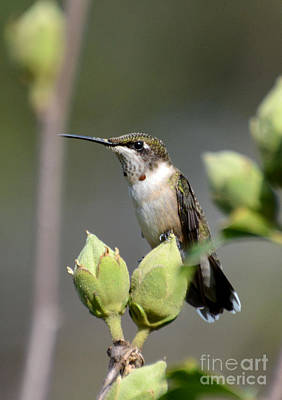 Photograph - Hummingbird Perched by Kathy Baccari