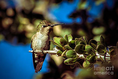 Photograph - Hummingbird Perching by Robert Bales