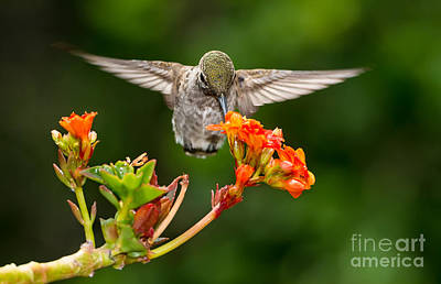 Hummingbird Art Print by Peter Dang