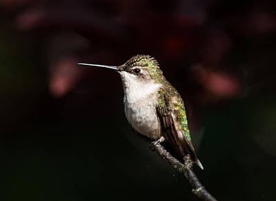 Photograph - Hummingbird Portrait by Lara Ellis