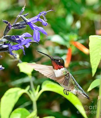 Hummingbird Art Photograph - Hummingbird Red Ruby At Purple Bloom by Wayne Nielsen