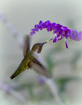 Hummingbird Series 01 Art Print