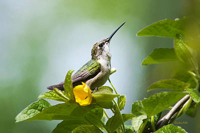 Photograph - Hummingbird Sitting Pretty by Christina Rollo