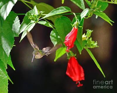Hummingbird Soars By Red Blooms Print by Wayne Nielsen
