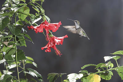 Photograph - Hummingbird Special by Robert Camp