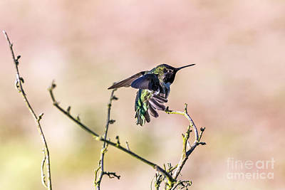 Photograph - Hummingbird Stretch by Kate Brown