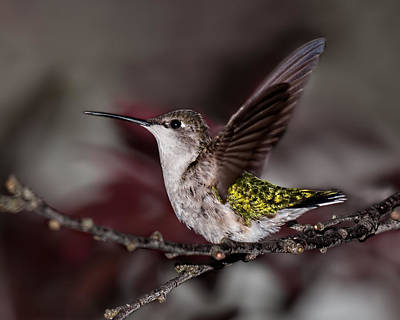 Photograph - Hummingbird Stretching by Lara Ellis