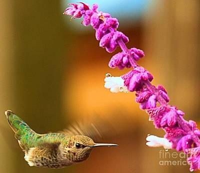 Photograph - Hummingbird Strike by Adam Jewell