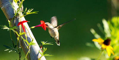 Photograph - Hummingbird Taking A Drink by Dorothy Cunningham