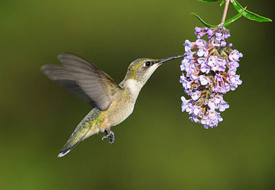 Soap Suds - Hummingbird by Tammi Elbert