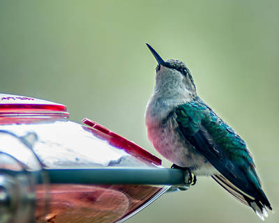 Photograph - Hummingbird by Todd Soderstrom