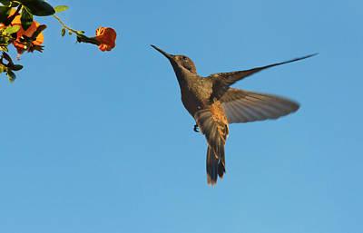 Venezuela Photograph - Hummingbird, Venezuela (large Format by Keren Su