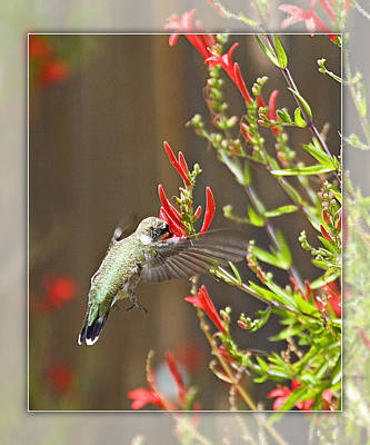 Photograph - Hummingbird by Walter Herrit