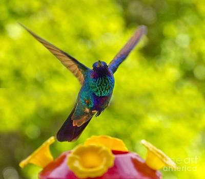 Hummingbird Winging Away Art Print by Al Bourassa