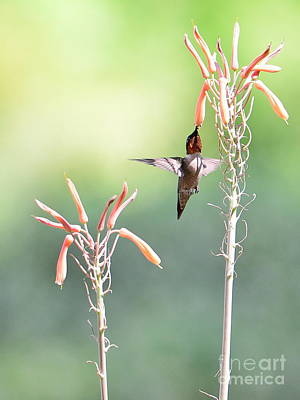 Hummingbird Wings Up Into Bliss Art Print by Wayne Nielsen