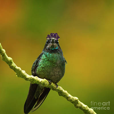 Beach House Signs - Hummingbird with a lilac Crown by Heiko Koehrer-Wagner