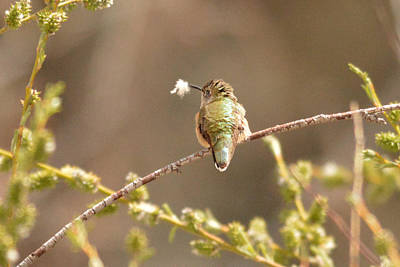 Photograph - Hummingbird With Nesting Material by Alan Lenk
