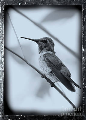 Photograph - Hummingbird With Old-fashioned Frame 1 by Carol Groenen