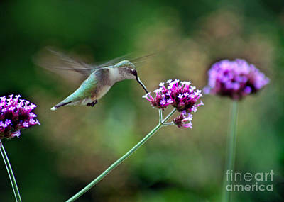 Photograph - Hummingbird With Purple Verbena by Karen Adams