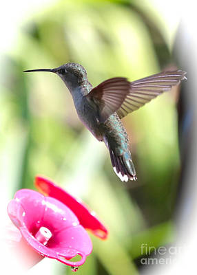 Photograph - Hummingbird With Vignette by Carol Groenen
