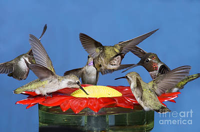 Feeding Young Photograph - Hummingbirds At Feeder by Anthony Mercieca