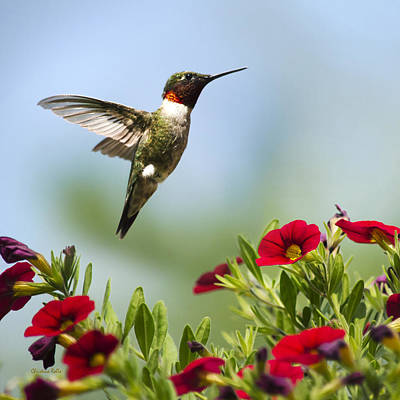 Photograph - Hummingbirds Frolic Square by Christina Rollo