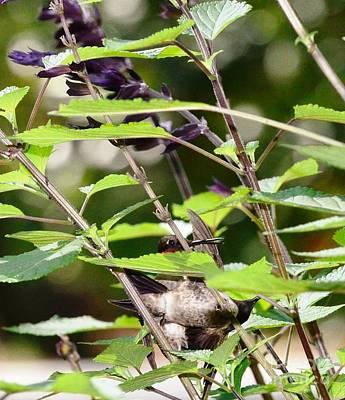 Hummingbirds In Final Fighting Down Embrace Art Print