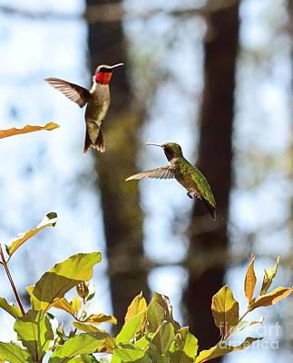 Hummingbirds In Sparring Flight Fight Art Print