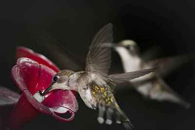 Photograph - Hummingbirds In Flight by Nelson Watkins