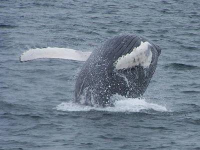Photograph - Humpback Breach by Noreen HaCohen