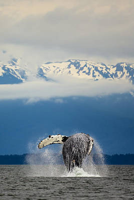 Photograph - Humpback Breaching 73a6876crop by David Orias