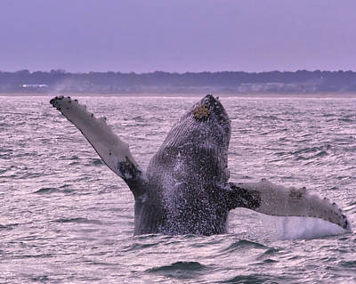 Photograph - Humpback Flip by Pete Federico