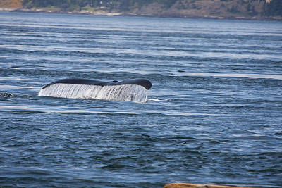 Photograph - Humpback Whale - 0003 by S and S Photo