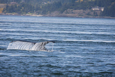 Photograph - Humpback Whale - 0004 by S and S Photo