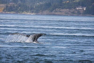 Photograph - Humpback Whale - 0005 by S and S Photo