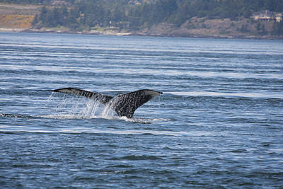 Photograph - Humpback Whale - 0006 by S and S Photo
