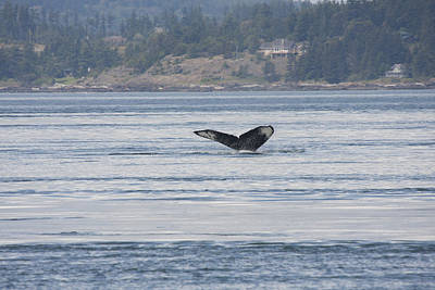 Photograph - Humpback Whale - 0016 by S and S Photo