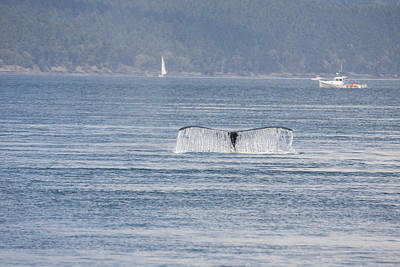 Photograph - Humpback Whale - 0017 by S and S Photo